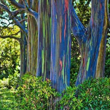 We could all learn from the Rainbow Eucalyptus Tree.
