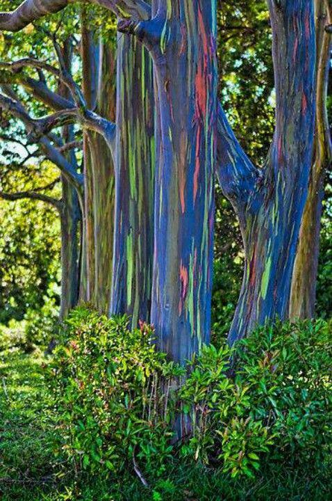 we could all learn from the rainbow eucalyptus tree cultivated clothing culture. Black Bedroom Furniture Sets. Home Design Ideas