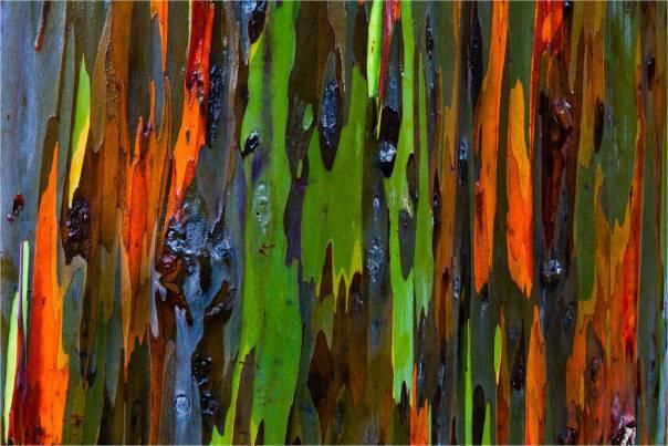 rainbow-eucalyptus-tree_2